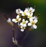 huseníček rolní <i>(Arabidopsis thaliana)</i> / Květ/Květenství