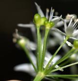 česnek medvědí <i>(Allium ursinum)</i> / Květ/Květenství