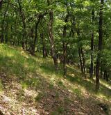 Středoevropské teplomilné doubravy <i>(Quercion petraeae)</i> / Porost