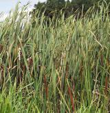 Sladkovodní rákosiny <i>(Phragmition australis)</i> / Porost