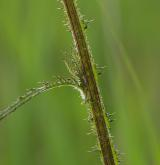 pcháč bahenní <i>(Cirsium palustre)</i> / Stonek
