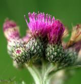 pcháč bahenní <i>(Cirsium palustre)</i> / Květ/Květenství