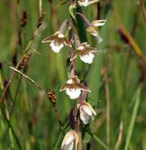 kruštík bahenní <i>(Epipactis palustris)</i> / Květ/Květenství