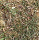 Plevelová vegetace obilnin na minerálně chudých půdách <i>(Scleranthion annui)</i> / Porost