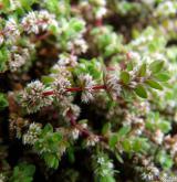 nehtovec přeslenitý <i>(Illecebrum verticillatum)</i> / Květ/Květenství