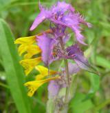 černýš hajní <i>(Melampyrum nemorosum)</i> / Květ/Květenství
