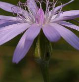 hadí mord nachový <i>(Scorzonera purpurea)</i> / Květ/Květenství