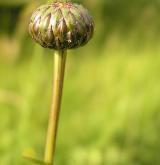 srpice karbincolistá <i>(Serratula lycopifolia)</i> / Květ/Květenství