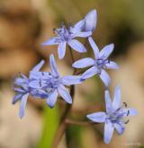 ladoňka karpatská  <i>(Scilla kladnii)</i> / Květ/Květenství