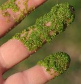 drobnička bezkořenná <i>(Wolffia arrhiza)</i> / Habitus