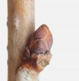mandloň nízká <i>(Prunus tenella)</i> / Větve a pupeny