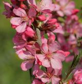 mandloň nízká <i>(Prunus tenella)</i> / Květ/Květenství