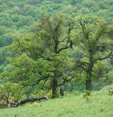 dub pýřitý <i>(Quercus pubescens)</i> / Habitus