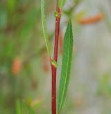 vrba trojmužná <i>(Salix triandra)</i> / Větve a pupeny