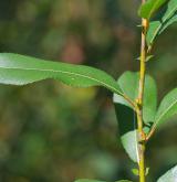 vrba trojmužná <i>(Salix triandra)</i> / List