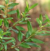 vrba trojmužná <i>(Salix triandra)</i> / Habitus