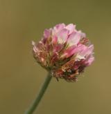 jetel jahodnatý <i>(Trifolium fragiferum)</i> / Květ/Květenství