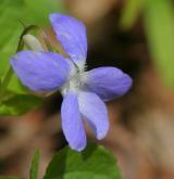 violka Rivinova <i>(Viola riviniana)</i> / Květ/Květenství
