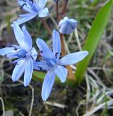 ladoňka dvoulistá <i>(Scilla bifolia)</i> / Květ/Květenství