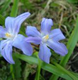 ladoňka velkokvětá <i>(Scilla luciliae)</i> / Květ/Květenství