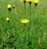 prasetník plamatý <i>(Hypochaeris maculata)</i>