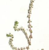 nehtovec přeslenitý <i>(Illecebrum verticillatum)</i> / Habitus