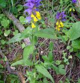 černýš hajní <i>(Melampyrum nemorosum)</i> / Habitus