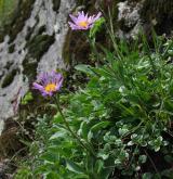 hvězdnice alpská <i>(Aster alpinus)</i> / Habitus