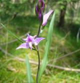 okrotice červená <i>(Cephalanthera rubra)</i> / Květ/Květenství