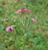 hvozdík svazčitý <i>(Dianthus armeria)</i> / Květ/Květenství
