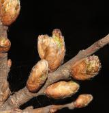 dub pýřitý <i>(Quercus pubescens)</i> / Větve a pupeny