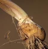 křivatec rolní <i>(Gagea villosa)</i> / Zásobní orgán/orgán klonálního růstu