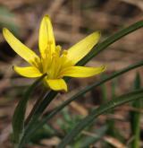 křivatec vstřícnolistý <i>(Gagea transversalis)</i> / Květ/Květenství