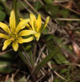 křivatec rolní <i>(Gagea villosa)</i> / Habitus