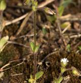 rožec lepkavý <i>(Cerastium glutinosum)</i> / Habitus