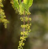 javor žumenolistý <i>(Acer cissifolium)</i> / Květ/Květenství