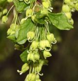 javor francouzský <i>(Acer monspessulanum)</i> / Květ/Květenství