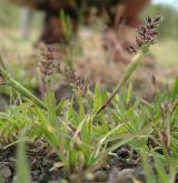 bodloplev hroznatý <i>(Tragus racemosus)</i> / Habitus