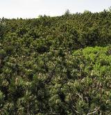 borovice kleč <i>(Pinus mugo)</i> / Porost