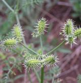 dejvorec velkoplodý  <i>(Caucalis platycarpos)</i> / Plod