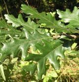 dub pýřitý <i>(Quercus pubescens)</i> / List