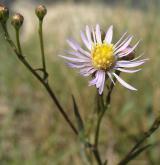 hvězdnice slanistá <i>(Aster tripolium)</i> / Květ/Květenství
