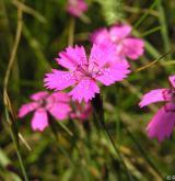 hvozdík kropenatý <i>(Dianthus deltoides)</i> / Květ/Květenství