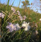 hvozdík Lumnitzerův <i>(Dianthus lumnitzeri)</i> / Habitus