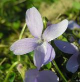 violka srstnatá <i>(Viola hirta)</i> / Květ/Květenství