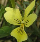 violka žlutá <i>(Viola lutea)</i> / Květ/Květenství