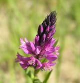 vítod chocholatý <i>(Polygala comosa)</i> / Květ/Květenství