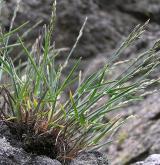 lipnice jesenická <i>(Poa riphaea)</i> / Habitus