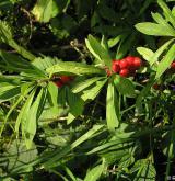 lýkovec jedovatý <i>(Daphne mezereum)</i> / Plod