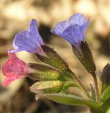 plícník tmavý <i>(Pulmonaria obscura)</i> / Květ/Květenství